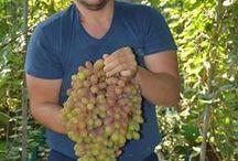 виноград агротехника