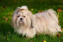 Shih Tzu / Do you like Shih Tzu? Here you can find all the info you need about that breed