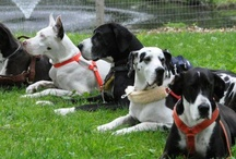 GREAT DANES / GREAT DANES, SERVICE DOG PROJECT, SDP, LIVE CAMERAS 24/7 AT EXPLORE.ORG  / by Cat Phi