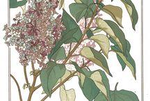 Lilacs / by AlexandraJamieson.com