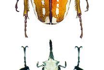 mecynorrhina ugandensis / mecynorrhina ugandensis