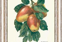 Ovoce a zelenina / Ovoce a zelenina na úžasných kresbách starých více jak 100 let. Kresba má větší vypovací hodnotu než fotka, v jedné kresbě je možné zobrazit všechny typické znaky dané odrůdy, to fotka neumí.