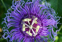 PASSION FLOWERS AND LANTANA / by Lisa Giles