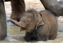 Elephants / Gentle Giants....