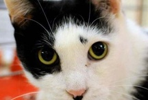 Cat of the week / These are our cats of the week. They are looking for a purr-manent home or sometimes a new foster home. All of them are looking for love and companionship. Meow! / by Anjellicle Cats
