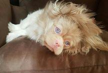 blind albino Pekingese