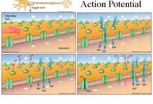 Biology explanation stuff