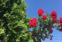 Flori si Plante medicinale