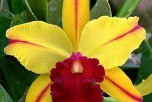 pfi - orchids