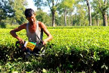 Tea Garden / Some Glimpses of Assam Tea Garden.   History Of Tea and beautiful garden with endless landscape. Collection of Photographs as my Journey.