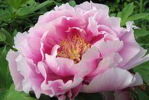 Flowers / by Susan Torregrossa