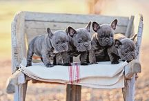 French bulldogs / by Janet Hutchinson