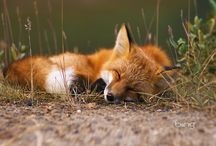 Foxes / Gorgeous and beautiful Foxes!