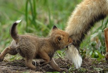 Baby foxes / CUTE baby foxes / by Bethany Posey