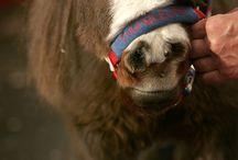 thumbelina mini horse