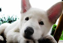 My love, my dog / His name is Wolf. White Swiss Shepherd.