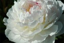 Paeonia Roses for the garden / These sumptuous flowers have been prised for generations as a cut flower and a garden plant that can live for generations and be passed down from family member to family member. You must have some in your garden!