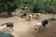 Porcos celtas / Raza autóctona de Galicia, muy rústica. Criados en libertad en nuestras instalaciones. Los vendemos enteros, por mitades, de todas las edades. También es posible llevar los jamones y lacones a un secadero.
