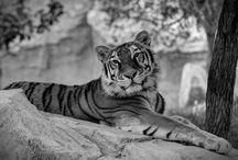 Tiger, Tiger..