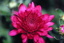 Cool-Season Garden Color / Brighten gray, drizzly days with the West's best cool-season flowers / by Sunset Magazine