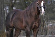 QUARTER & PAINT Horses