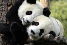 Panda lover.