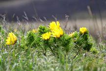 MALINA / Kwiaty polne