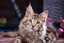 Maine Coon Madness