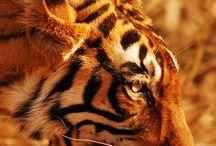 Tiger / by Heather Horgan