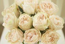 Bridal Roses Peach / Varieties of Rose