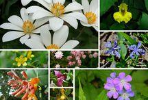 Cherokee Wildflowers