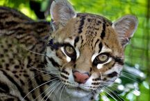 Ocelot. / The Ocelot is the largest of the small spotted cats, and twice the size of the average house cat. The ocelot is a sleek animal with a gorgeous dappled coat. Here at PWP we have one ocelot named Billy.