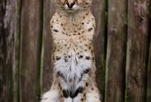 Wild felines