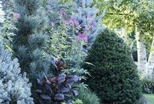 Gardening  - Conifers