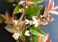 Badderam plants