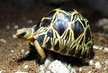 Radiata Tortoise