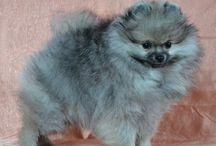 Pomeranian Karamit Nova