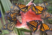 Monarchs & Milkweed- Endangered species!