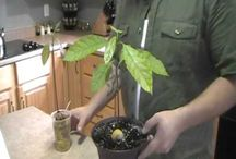 How to grow avokado from the seeds