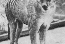 enregistrement vidéo du dernier thylacine en 1930 environ