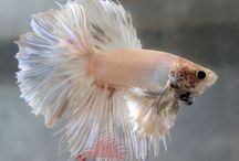 Beta - Siamese Fighting Fish