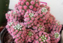 Succulent ,cactus