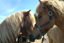 Icelandic horses / The Icelandic Horse has many unique features, let me show you ;)