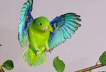 Underbara fåglar / Forpus Lesson Sparvpapegoja