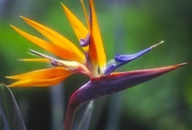 Bird of paradise - Strelitzia / Bird of Paradise flowers are associated with liberty, magnificence, and good perspective. Family : Strelitziacea. (crane flower, kraanvoëlblom) I love Birds of Paradise, and I do a lot of paintings with these colourful end exotic flowers as the main subject. (This board is dedicated to the flowers only and they could be in a photograph, in a decor area, in drawings and paintings and any artistic form). If you would like to join the group please drop me a line at virtual360@mac.com, Thank you. / by Roberto Portolese