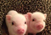 świnki