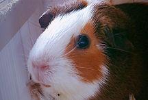 Guinea pig ❤