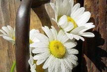 daisy door knobs