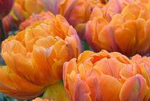 Tulipany i inne cebulowe.