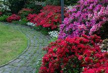 рододендроны / rhododendron